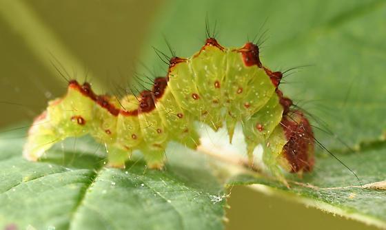 Gray Dagger Moth Caterpillar - Acronicta grisea