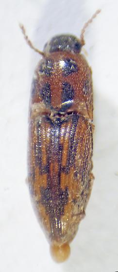 Unknown Click Beetle - Conoderus pictus