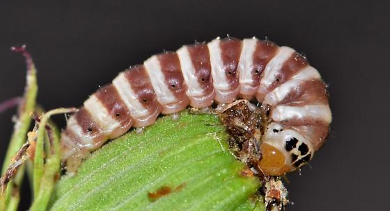 Matutinal Flower Caterpillar  - Schinia mitis