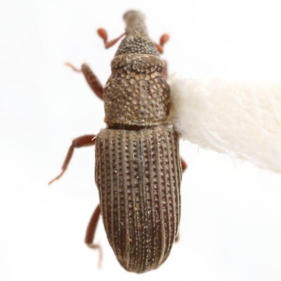 Dryophthorus americanus Bedel - Dryophthorus americanus