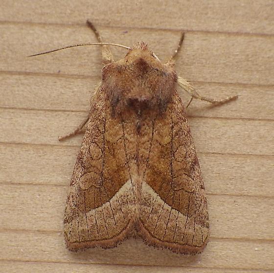 Noctuidae: Hydraecia perobliqua - Hydraecia perobliqua