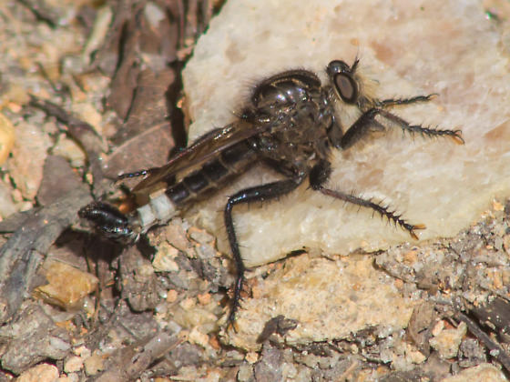 White-banded robber fly - Efferia pogonias - male