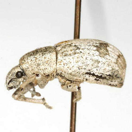 Bradyrhynchoides constrictus Pierce - Bradyrhynchoides constrictus