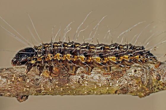 cat1 - Litoprosopus futilis