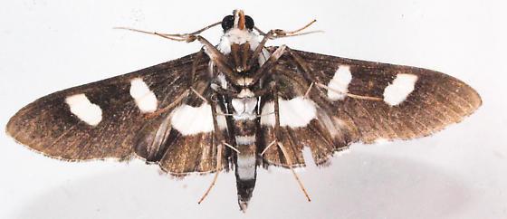 Desmia - Desmia maculalis - male
