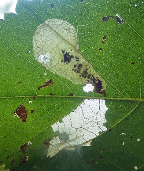 Trumpet mine on birch sapling - Profenusa thomsoni
