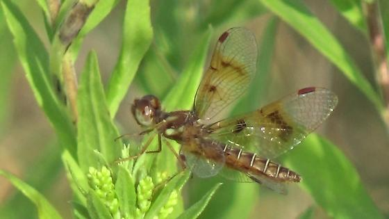 Dragonfly on Goldenrod - Perithemis tenera