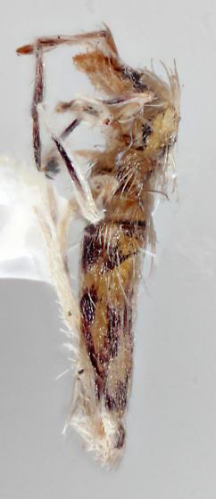 Collembola - Entomobrya