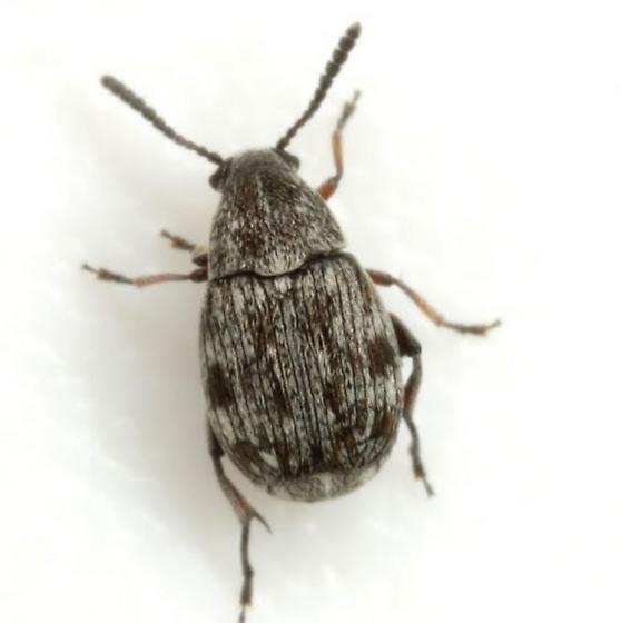 Acanthoscelides longistilus (Horn) - Acanthoscelides longistilus