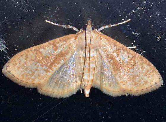 Moth - Palpita freemanalis