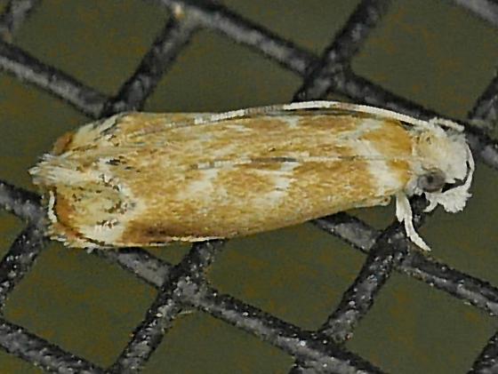 Texas SE Gulf Coast - Dryadaula terpsichorella