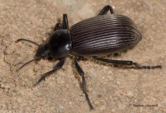 Arizona Darkling - Eleodes obscura