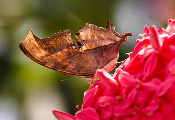 Brown Scallop Winged Butterfly - Marpesia petreus
