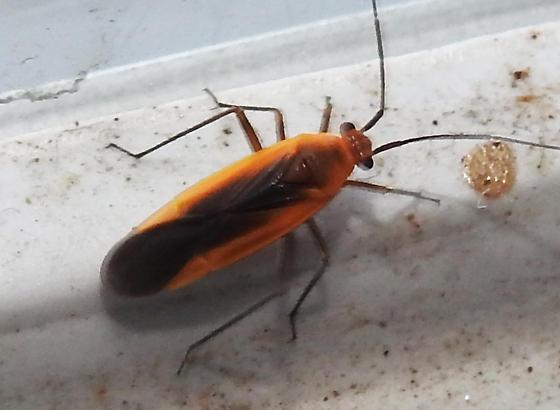 Orange and Black Bug - Lopidea