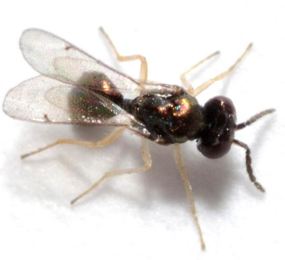 Chrysocharis from mine of Erigeron sp. - Chrysocharis giraulti - male