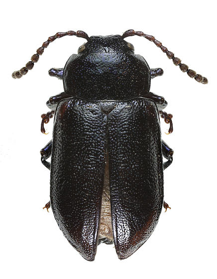 Unknown Chrysomelid - Gastrophysa dissimilis