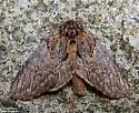 Oval-Based Prominent - Hodges#7919 (Peridea basitriens) - Peridea basitriens