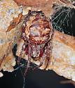 Orb Weaver - Larinioides patagiatus - female
