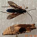 Parasitic wasp - Trogus lapidator
