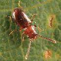 Lined Flat Bark Beetle - Charaphloeus unnamed