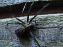 Tegenaria gigantea - Giant House Spider - Eratigena duellica