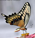 A feeding butterfly - Papilio cresphontes