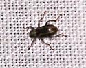 Unknown beetle? - Stenelmis