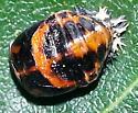 metamorphosis orange, black bug 4 - Harmonia axyridis