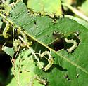 Hymenoptera larvae - Nematus