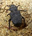 Beetle - Cremastocheilus