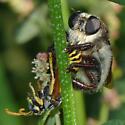 Mallophora fautrix with wasp - Mallophora fautrix