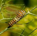 black swallowtail cat? - Papilio polyxenes