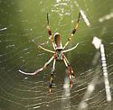 Unknown Spider - Nephila clavipes