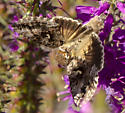 Moth or Butterfly? - Autographa californica