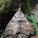 What moth? - Renia salusalis - female
