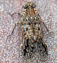 Which Cixiid Planthopper is this? - Melanoliarus