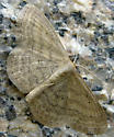 Soft-lined Wave Moth - Scopula inductata