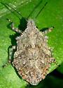 Stink Bug Nov 2 - Brochymena