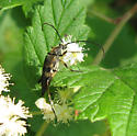Cerambycidae 8-02-09 03b - Etorofus obliteratus