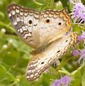 UnknownButterfly73 - Anartia jatrophae