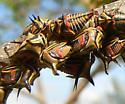 Treehopper young - Umbonia crassicornis