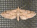 Eupithecia unicolor