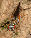 very jumpy wasp - Ogloblinisca americana