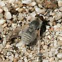 Little Grey Bee Fly