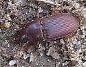 Ground Beetle? - Harpalus