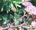 Chinese Mantid? - Stagmomantis californica