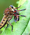 Seeking ID on the prey Robber Fly - Promachus hinei