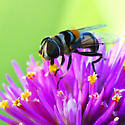 Syrphid Fly - Palpada albifrons? - Palpada agrorum