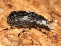 Snout Beetle - Euparius marmoreus