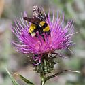 Sonoran Bumble Bee? - Bombus sonorus - female